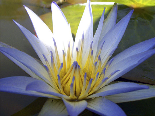 About The Blue Lotus